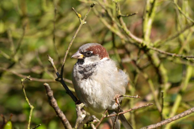 Male house sparrow. © John Harding/BTO/ZSL