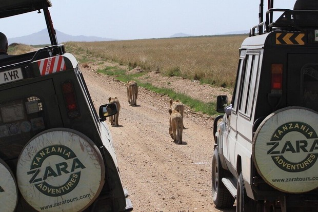 Zara Tours, Lioness w Cubs on Road & Zara Land Cruisers, Serengeti NP by Trevor Hughes RESIZE (1)