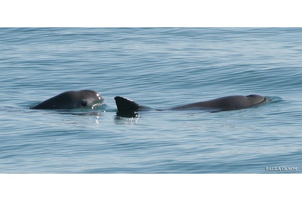 The vaquita is listed as Critically Endangered on the IUCN Red List. © Paul Olsen for NOAA (used under Creative Commons)