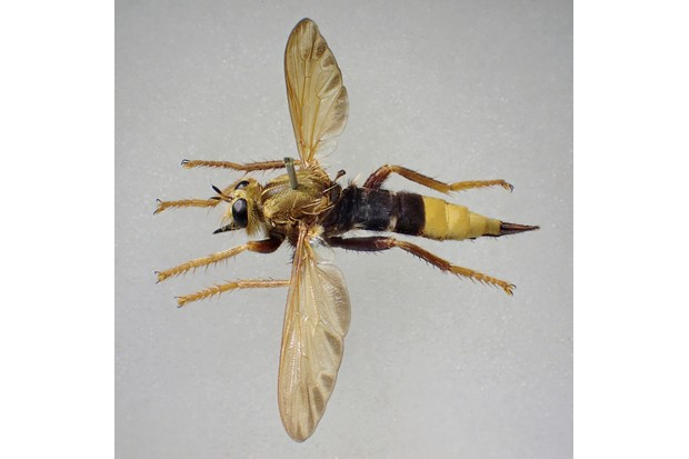 A female Asilus crabroniformis showed the tapered abdomen ending in the shiny ovipositor.