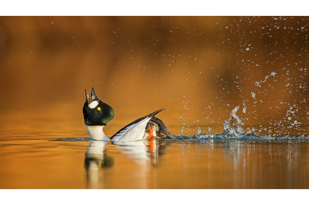 Common Goldeneye Bucephala clangula. Saxony-Anhalt, Germany. Photographer: Thomas Hinsche, Germany. BEST PORTFOLIO WINNER Photographer's Story: 'A special courtship display ritual reveals this drake Goldeneye in all his glory. He throws his head backwards and pedals his legs to impress the females. The courtship display of these ducks begins early in the year, sometimes even in January. At sunrise I was able to observe and photograph this special moment on a small lake in my homeland.' Canon EOS 5D MkIII with Canon EF 500mm f/4L IS USM lens and 1.4x converter. 700mm focal length; 1/800 second; f/5.6; ISO 250. Tripod. Camouflage cloak.
