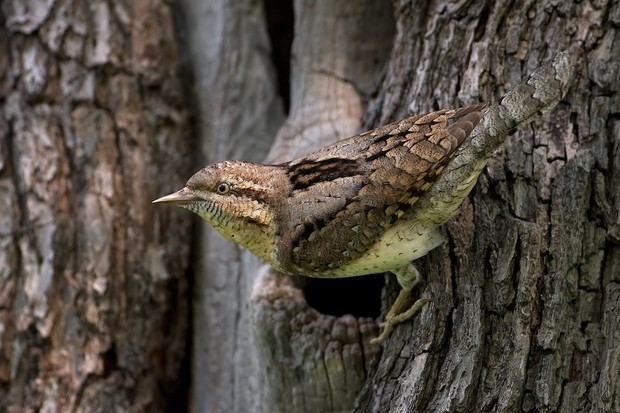 Eurasian Wryneck Jynx torquilla. Saxony-Anhalt, Germany. Photographer: Thomas Hinsche, Germany. BEST PORTFOLIO WINNER Photographer's Story: 'This small woodpecker species migrates every year from its wintering grounds in Africa back to Central Germany to breed. With intricately-patterned plumage, the Wryneck is among the best camouflage-artists going in the bird world and its colours and markings allow it to blend in with its surroundings perfectly.' Canon EOS 1D MkIII with Canon EF 500mm f/4L IS USM lens. 500mm focal length; 1/320 second; f/4.5; ISO 320. Tripod. Camouflage cloak.