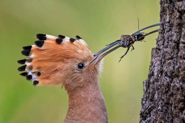 Eurasian Hoopoe Upupa epops. Saxony-Anhalt, Germany. Photographer: Thomas Hinsche, Germany. BEST PORTFOLIO WINNER Photographer's Story: 'The male Hoopoe feeds its mate while she is brooding her clutch and she is reliant on him while she incubates the eggs. These birds have become new citizens in central Germany in recent years, benefiting from the consequences of climate change. Dry summers help, and many restored military training areas offer new habitats. In mid-May I was able to observe and photograph a wide range of the Hoopoe's interesting behavioural traits.' Canon EOS 5D MkIV with Canon EF 500mm f/4L IS II USM lens. 500mm focal length; 1/800 second; f/5; ISO 2,500. Tripod. Camouflage cloak.
