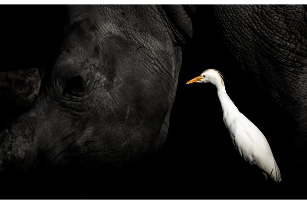 Cattle Egret Bubulcus ibis. Khama Rhino Sanctuary, Botswana. Photographer: William Steel, United Kingdom/South Africa. Category: Best Portrait. BRONZE AWARD WINNER. Photographer's Story: 'A Southern White Rhino continues grazing unaware of the bounty on its head, as a Western Cattle Egret searches for insects flushed from the grass. This is a truly commensal relationship. The Rhino is indifferent to the presence of the bird, while the egret benefits from the Rhino's movement and foraging: it unwittingly disturbs insects concealed in the grass. For me, the image is such an emotive depiction: a juxtaposition between dark and light, hope and uncertainty. While the Cattle Egret takes centre stage the Rhino can be see fading into the background, indicative of the species' rapid decline.' Canon EOS 7D MkII with Sigma 150-600mm f/5-6.3 DG OS HSM lens. 562mm focal length; 1/2,000 second; f/6.3; ISO 500. Handheld.