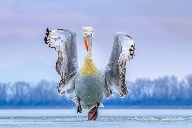 Dalmatian Pelican Pelecanus crispus. Lake Kerkini, Greece.