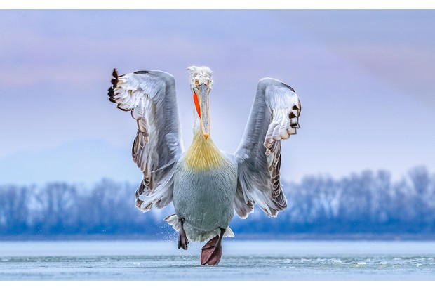 Dalmatian Pelican Pelecanus crispus. Lake Kerkini, Greece. Photographer: Caron Steele, United Kingdom. Category: Best Portrait. PEOPLE'S CHOICE CATEGORY WINNER, GOLD AWARD WINNER AND BIRD PHOTOGRAPHER OF THE YEAR WINNER. Photographer's Story: 'On arriving in Greece to photograph the Dalmatian Pelicans in their breeding plumage I discovered that Lake Kerkini, their favoured haunt, had frozen for the first time in 16 years; all the pelicans had flown off. Fortunately, a few holes started to thaw in the lake and the birds slowly began to return. Unused to the slippery icy surface of the lake they regaled us with hilarious antics as they slid across the lake surface trying to retain control as they took off and landed. I was lucky enough to capture one such rare moment when this magnificent pelican ran towards me across the ice at dusk before taking off. It was a truly unique experience, both magical and comical at the same time. And the image remains a moment of pure joy captured forever.'