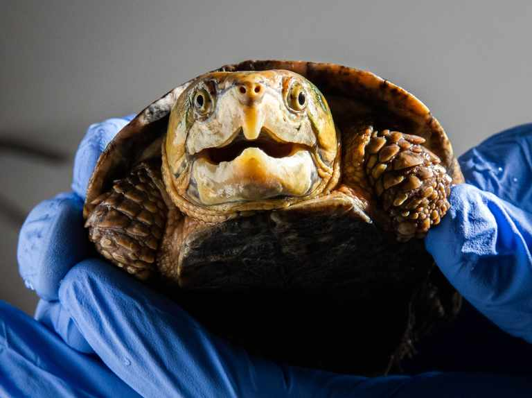 Unusual turtles find a new home after smuggling ordeal