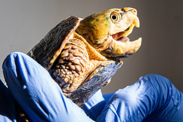 The head of a big-headed turtles is too big to fit back into its shell. © ZSL London Zoo