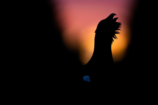 """Western Capercaillie Tetrao urogallus. Västmanland, Sweden. Photographer: Erik Berg, Sweden. Category: Bird Behaviour. HONOURABLE MENTION. Photographer's Story: 'I was out looking for owls in one of my favourite forests near home. When the sun had set behind the forest, I heard the characteristic """"clucking"""" of a male Capercaillie just 40 metres away. I crawled closer in my camouflage clothing and managed to get quite close to him. He seemed to be paralyzed in his desperate attempt to attract a female. As available light was really poor, I decided to try to frame him as a silhouette against the warmly coloured sky. I instantly knew that this was something unique.' Canon EOS 5D MkIV with Canon EF 400mm f/2.8L IS II USM lens. 400mm focal length; 1/500 second; f/2.8; ISO 1,600. Handheld."""