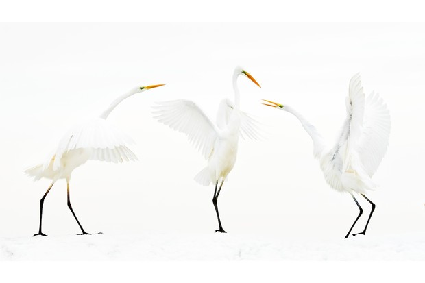 Great Egret Ardea alba. Kiskunsag National Park, Hungary. Photographer: Bence Máté, Hungary. Category: Bird Behaviour. HONOURABLE MENTION. Photographer's Story: 'Bird photographers rarely get the opportunity to shoot white birds in a white environment. I had planned for more than ten years to capture Great White Egrets in the snow, with snow clouds in the background so that their black legs and yellow beaks dominated the image. Lots of environmental factors needed to coincide at the same time for such an image to be possible. The European population of Great White Egrets is very resilient: in temperatures of -15° C they are protected by their thick plumage, while in temperatures as high as +40°C their colour reflects the sun's rays.' Canon EOS 1DX MkII with Canon EF 200mm f/2L IS USM lens. 200mm focal length; 1/2,500 second; f/3.5; ISO 3,200. Tripod. Hide with one-way glass.
