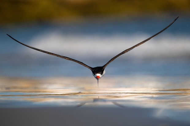 Black Skimmer Rynchops niger. Ocean City, New Jersey, United States of America. Photographer: Nikunj Patel, United States of America. Category: Birds in Flight. GOLD AWARD WINNER. Photographer's Story: 'Black Skimmers are one of my favourite birds and I love spending time in the summer observing and photographing them. Skimmers have a light and elegant flight, with steady wingbeats. They fly low over water and dip their lower mandible just below the surface, feeling for tiny fish and snapping them up with deadly speed, and making high-speed turns in mid-flight. On a nice summer evening, I arrived at a colony of nesting seabirds on a beach to photograph Black Skimmers flying in, bringing fish for the new-born chicks. I decided to set up low on the beach as it would give me an eye-level perspective with the birds. A few skimmers had gathered at the edge of the shoreline and were having a vigorous bathing session. As some of them took off, I saw one flying low and straight towards me. Luckily, I was able to acquire focus, press the shutter and capture a beautiful image of the bird flying straight at me. Black Skimmers rely on open beaches for nesting and raising their young, with direct access to the water for feeding. Coastal development and our own love of the same beaches have left them with few safe places to nest. The image was captured in the summer of 2018 at Ocean City, New Jersey, USA. The Black Skimmer is an endangered species in the state of New Jersey.' Nikon D850 with Nikon 600mm f/4 lens. 600mm focal length; 1/3,200 second; f/5.6; ISO 250. Tripod.