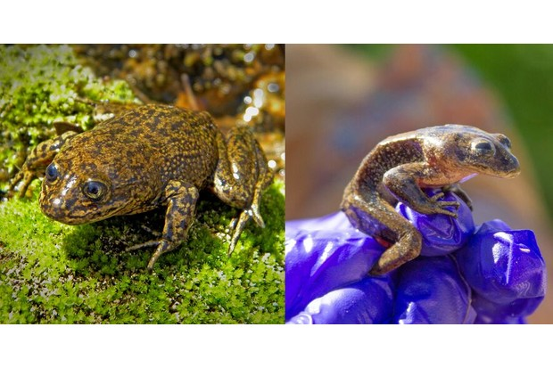 A comparison of a healthy frog (in 2015) and one of the malnourished frogs. © Claudio Soto/Ministry of Housing and Urbanism of Chile