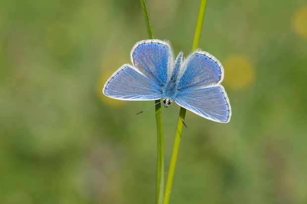 A male common blue butterfly by Bob Eade, Butterfly Conservation