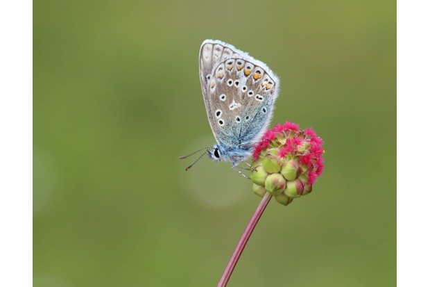 The underside wings of a male common blue butterfly are grey-beige in colour. © Mark Searle/ Butterfly Conservation.