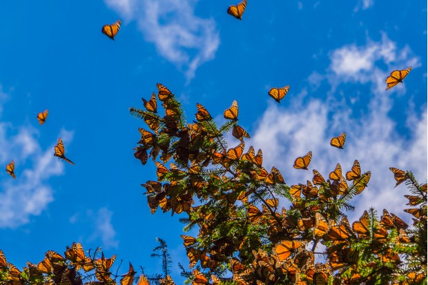 There have been a 90% decline in monarch butterfly numbers in America in the last 20 years. © JHVE Photo/Getty