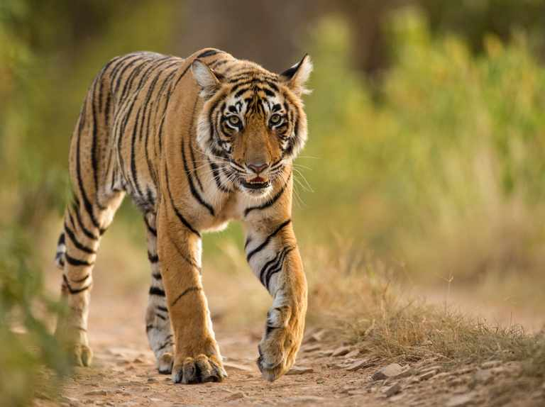 Tiger census reveals rapid growth of India's wild tiger population