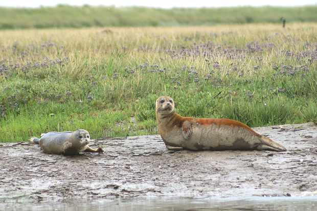 Common seal and pup. © Graham Mee/RSPB