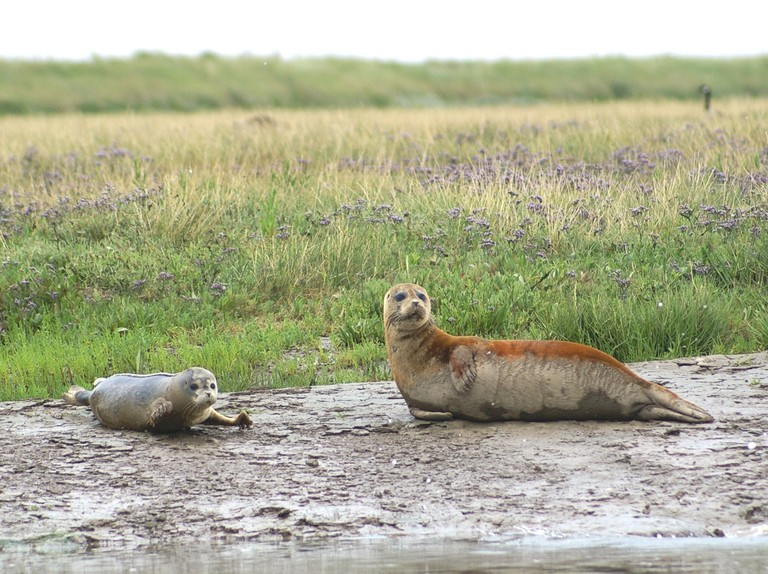 Seal pups counted in the Thames