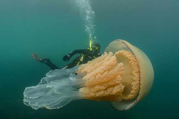 Lizzie Daly swimming next to the 1.6m barrel jellyfish. © Dan Abbott