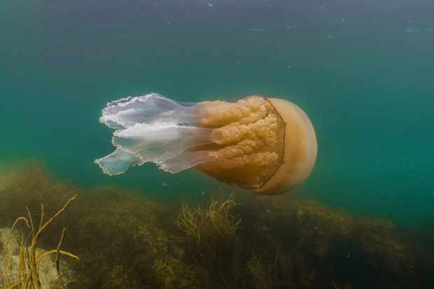 Barrel jellyfish. © Dan Abbott