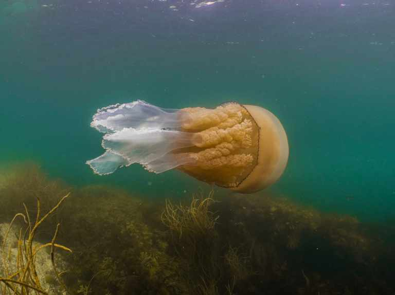New jellyfish citizen science project launches