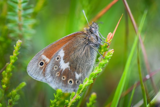 Large heath butterfly bred at Chester Zoo previously released in Lancashire.
