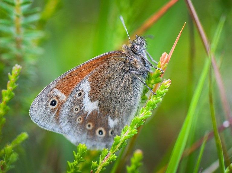 Rare butterfly to be reintroduced to Manchester and Cheshire