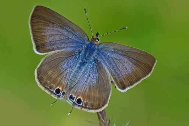 A female long-tailed blue butterfly. © Neil Hulme/Butterfly Conservation
