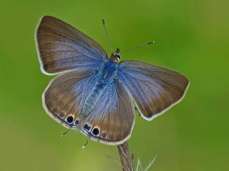 Climate change causes invasion of Mediterranean butterfly in the UK
