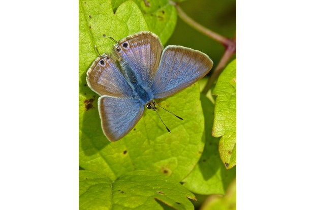 A male long-tailed blue butterfly. © Neil Hulme/Butterfly Conservation