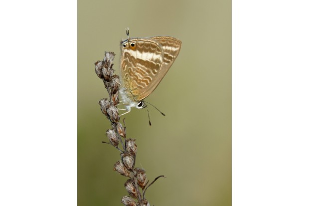 Long-tailed blue butterfly. © Neil Hulme/Butterfly Conservation