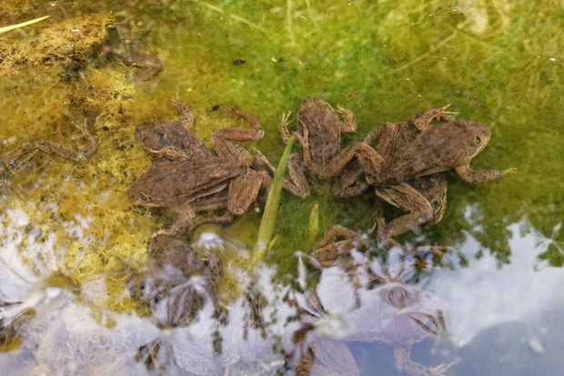 Malnourished frogs in the pool. © Gabriel Lobos