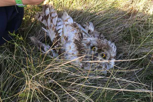 Short-eared owl found shot in the Peak District that had to be put to sleep. © RSPB