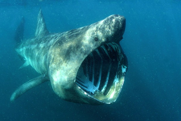 Basking shark mouth wide open English coast. © Alan James/WWF/naturepl.com