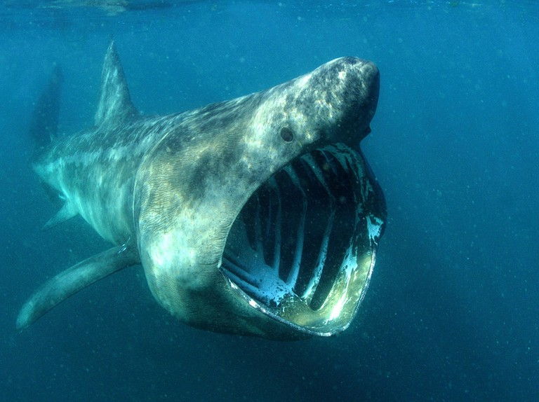 Robot cameras uncover the hidden world of basking sharks