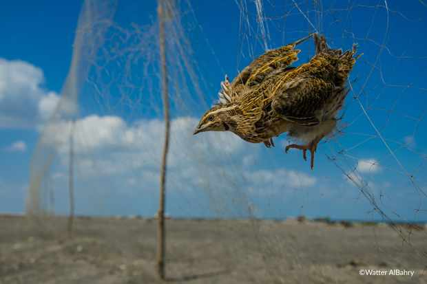 Common quail caught in a mist net. © Watter AlBahry