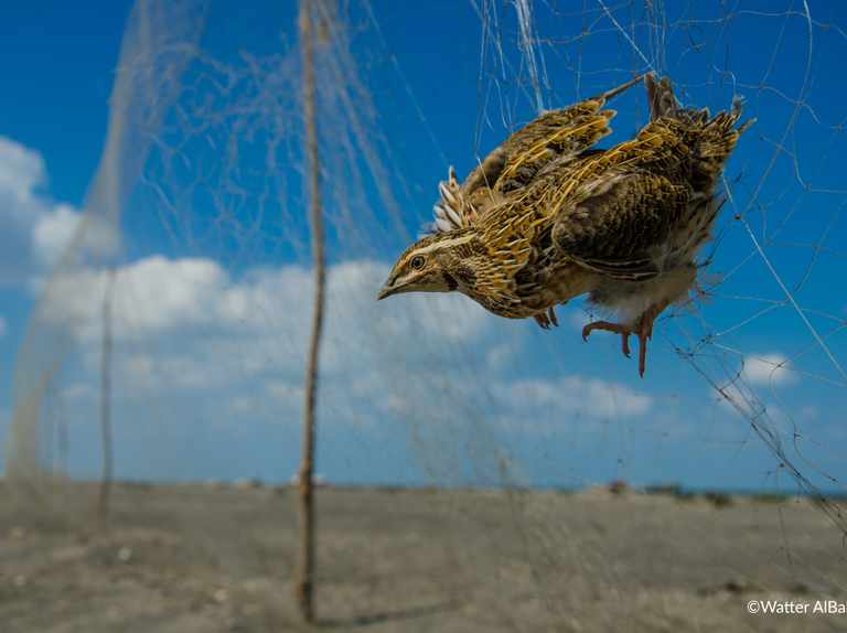 Millions of wild birds illegally killed or taken in the Middle East