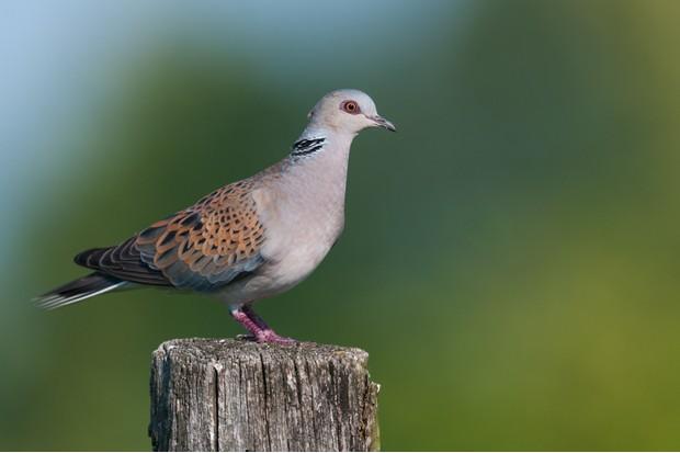 European turtle dove. © Birdlife Europe