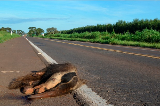 A giant anteater that was killed crossing a road. © Vinicius Alberici/ZSL