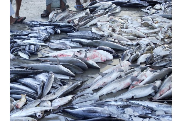 Assorted species of fish and sharks for sale at a Market in Delhi, India. © TRAFFIC