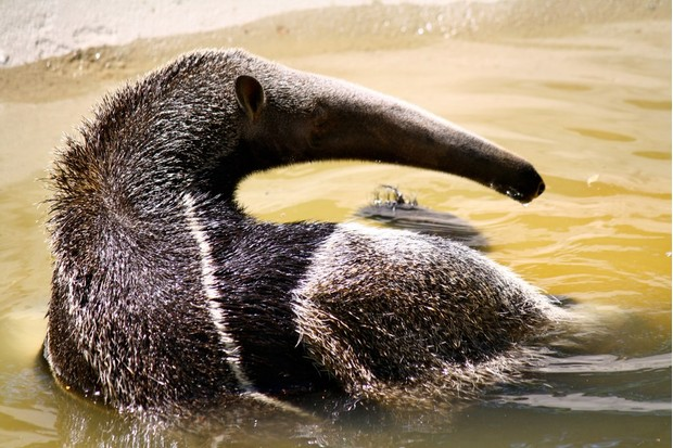 Giant anteater in captivity in the USA. © A M Lewis (used under a Creative Commons licence)