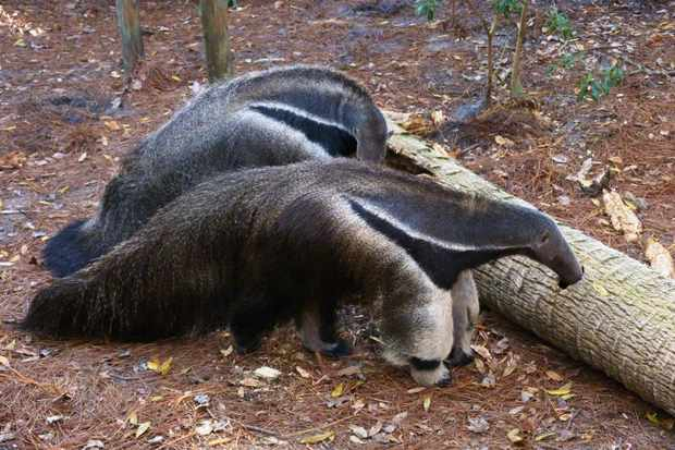 Giant anteaters in captivity in the USA. © Rusty Clark (used under a Creative Commons licence)