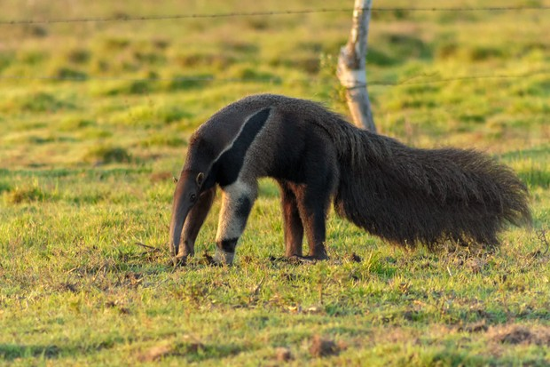 Giant anteater in Venezuala. © Fernando Flores (Used under a Creative Commons licence)