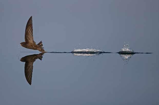 Animal Behaviour winner: common swift skimming the water (common swift, Norwich, Norfolk). © Robin Chittenden/British Wildlife Photography Awards