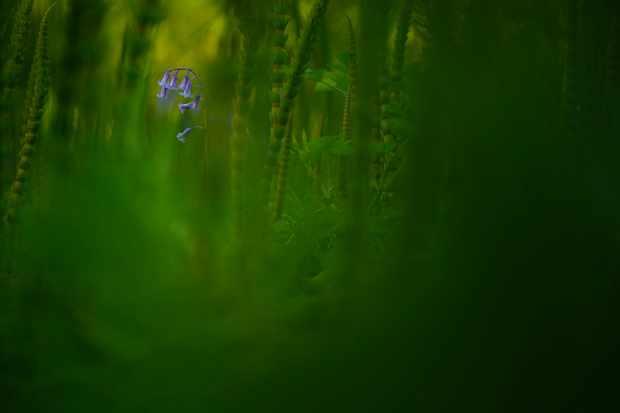 Botanical Britain winner:Amongst emerald depths (Bluebell and mare's tail, Worton Woods, Oxfordshire). © Jack Mortimer/British Wildlife Photography Awards