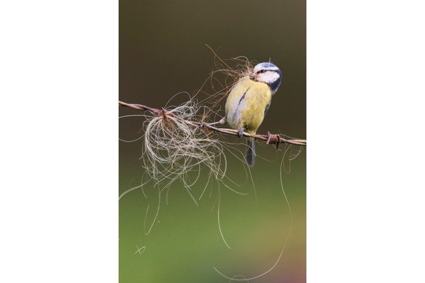 British Seasons winner (4 images in the series): blue tit in spring (Rendham, Suffolk). © Paul Sawer/British Wildlife Photography Awards