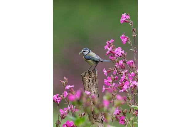 British Seasons winner (4 images in the series): blue tit in summer (Rendham, Suffolk). © Paul Sawer/British Wildlife Photography Awards