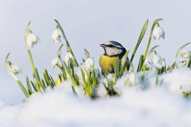British Seasons winner (4 images in the series): blue tit in winter (Rendham, Suffolk). © Paul Sawer/British Wildlife Photography Awards