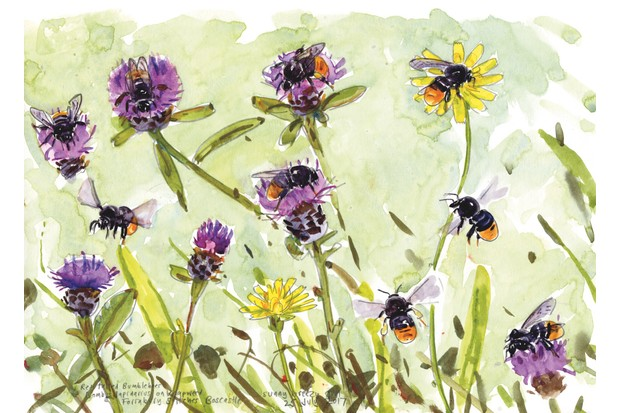 Red-tailed bumblebee illustration by John Walters.