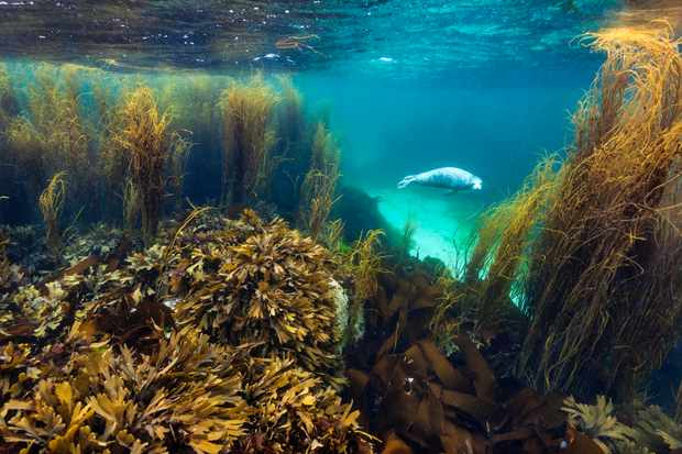 Overall Coast And Marine Category winner and Coast And Marine Scotland Winner: Seal in Seaweed garden (grey seal, Isle of Coll, Inner Hebrides, Argyll and Bute). © Alex Mustard/British Wildlife Photography Awards